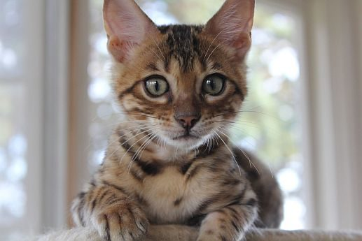 Bengal Kittens are so cute