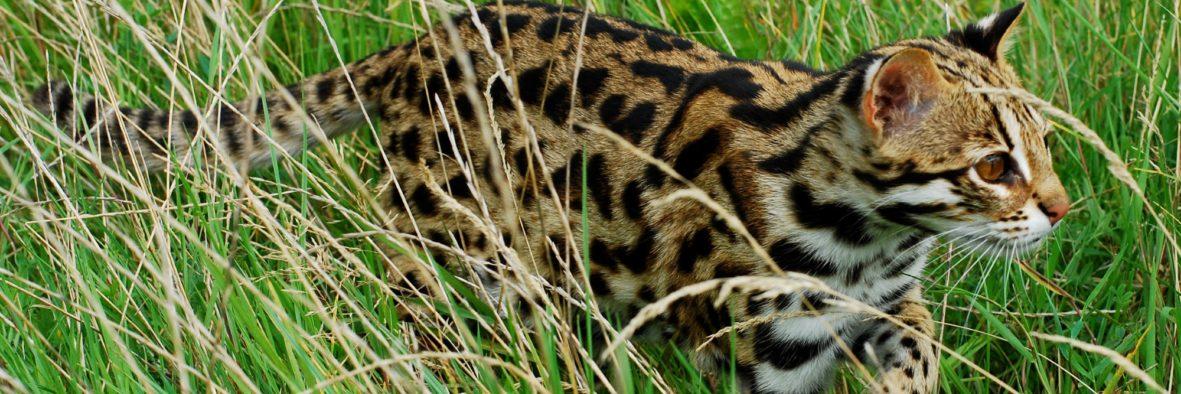 The Asian Leopard Cat