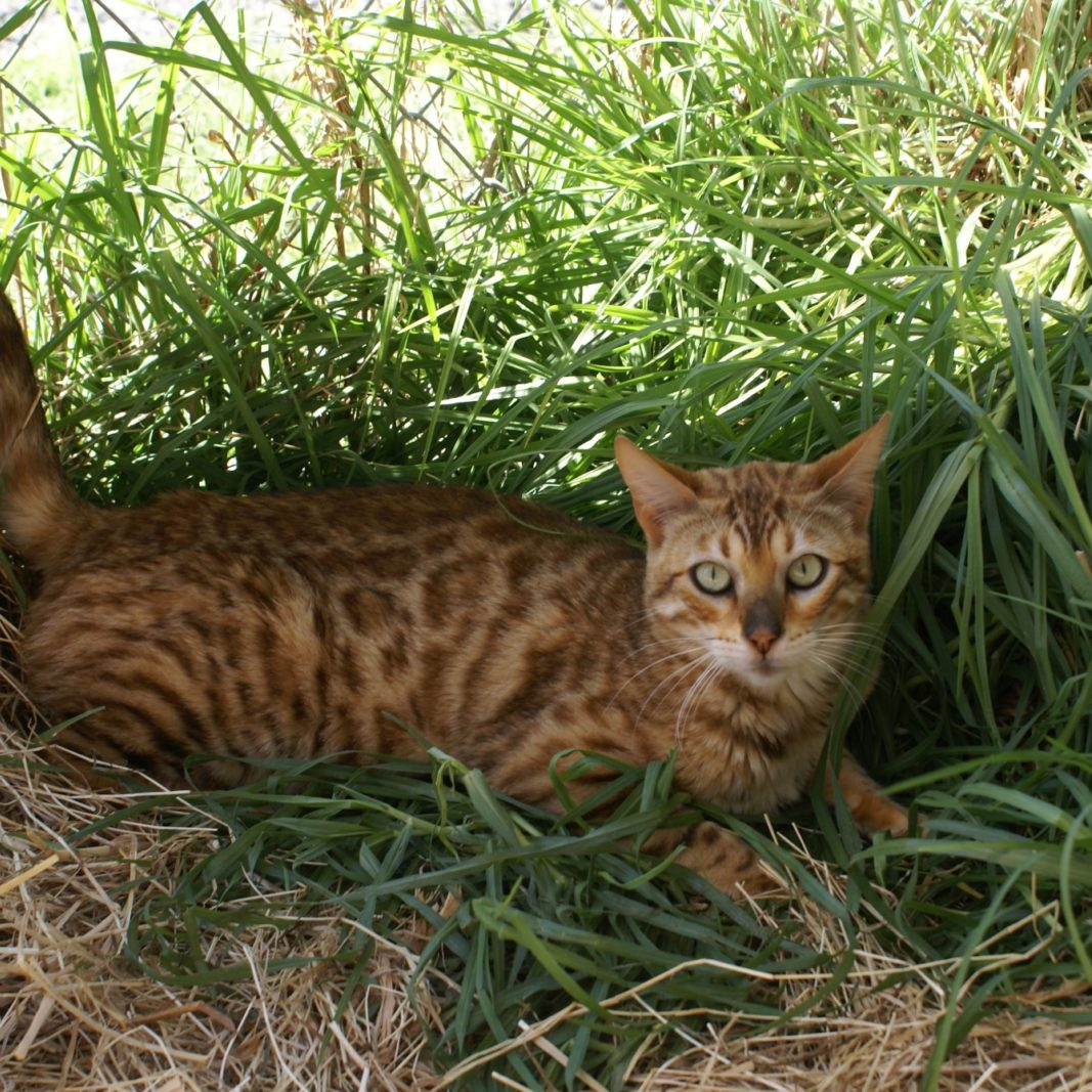Photo 2 of Aideen the female Bengal cat.