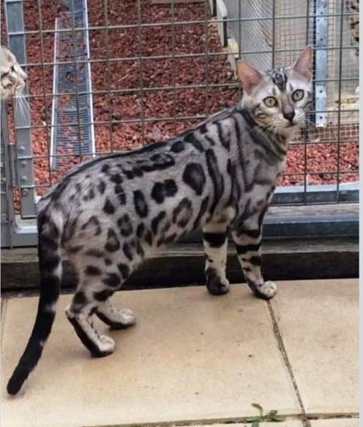 Photo 1 of Dora the Female Bengal cat.