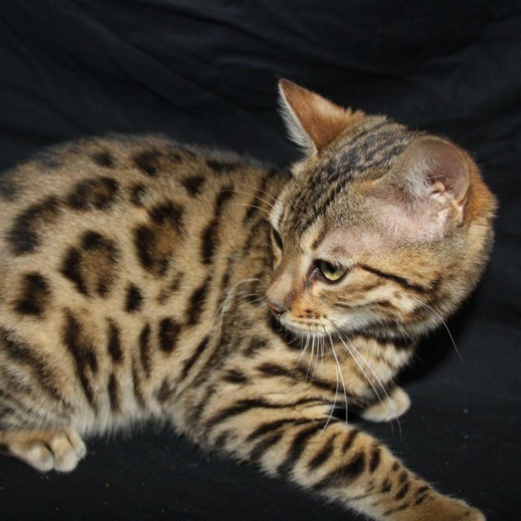 Photo 3 of Hazel  the female Bengal cat.