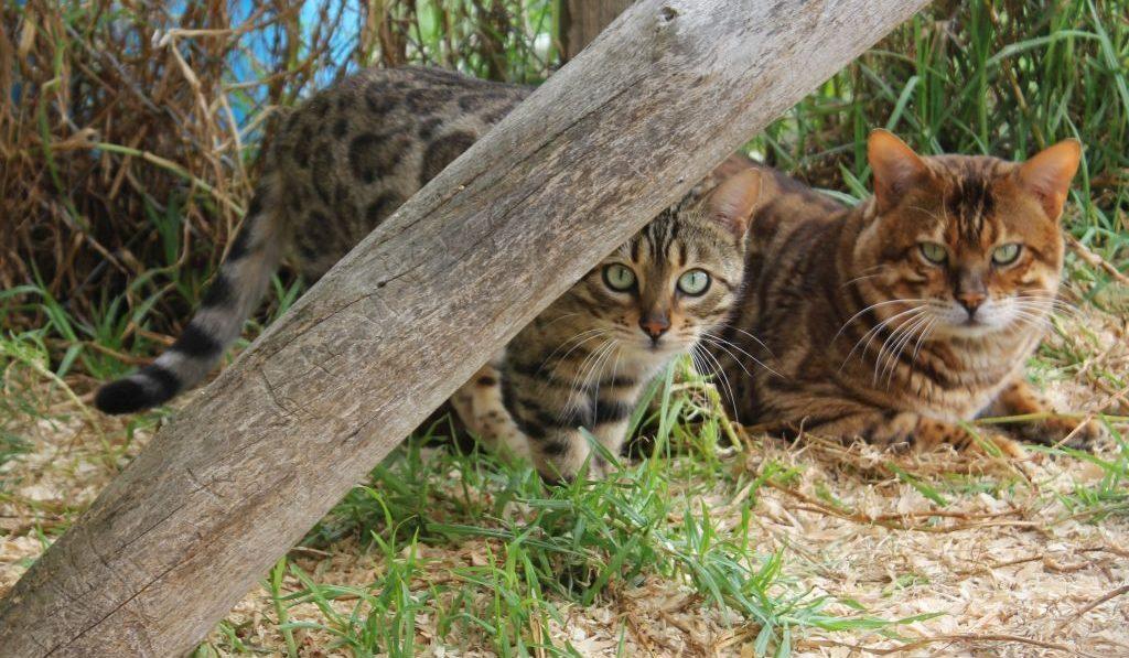Photo 4 of J'Doir the female Bengal cat.