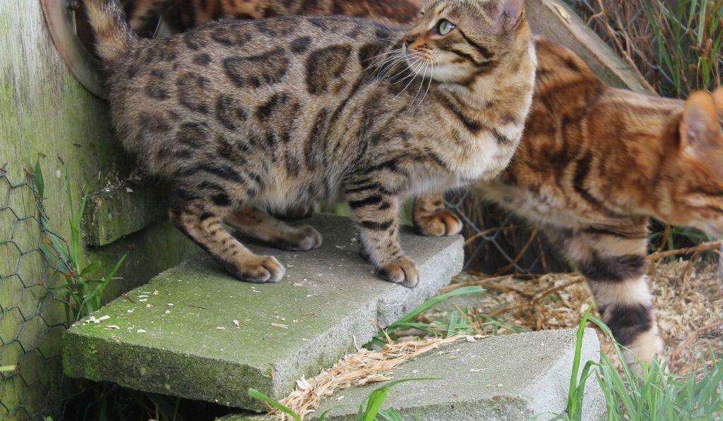 Photo 2 of J'Doir the female Bengal cat.
