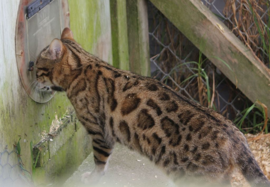Photo 1 of J'Doir the Female Bengal cat.