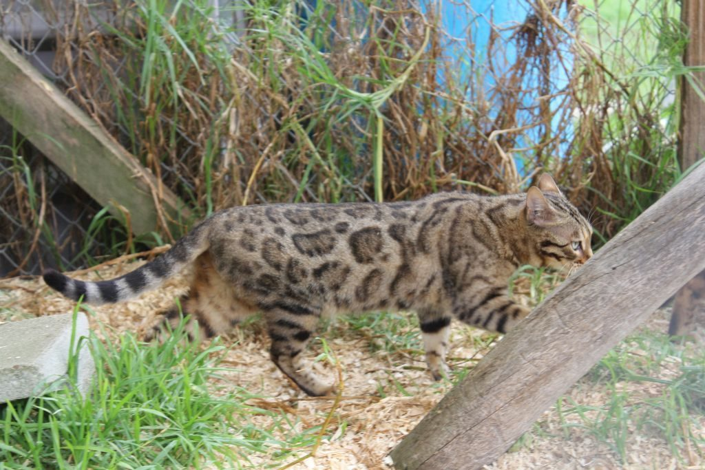Photo 5 of J'Doir the Female Bengal cat.