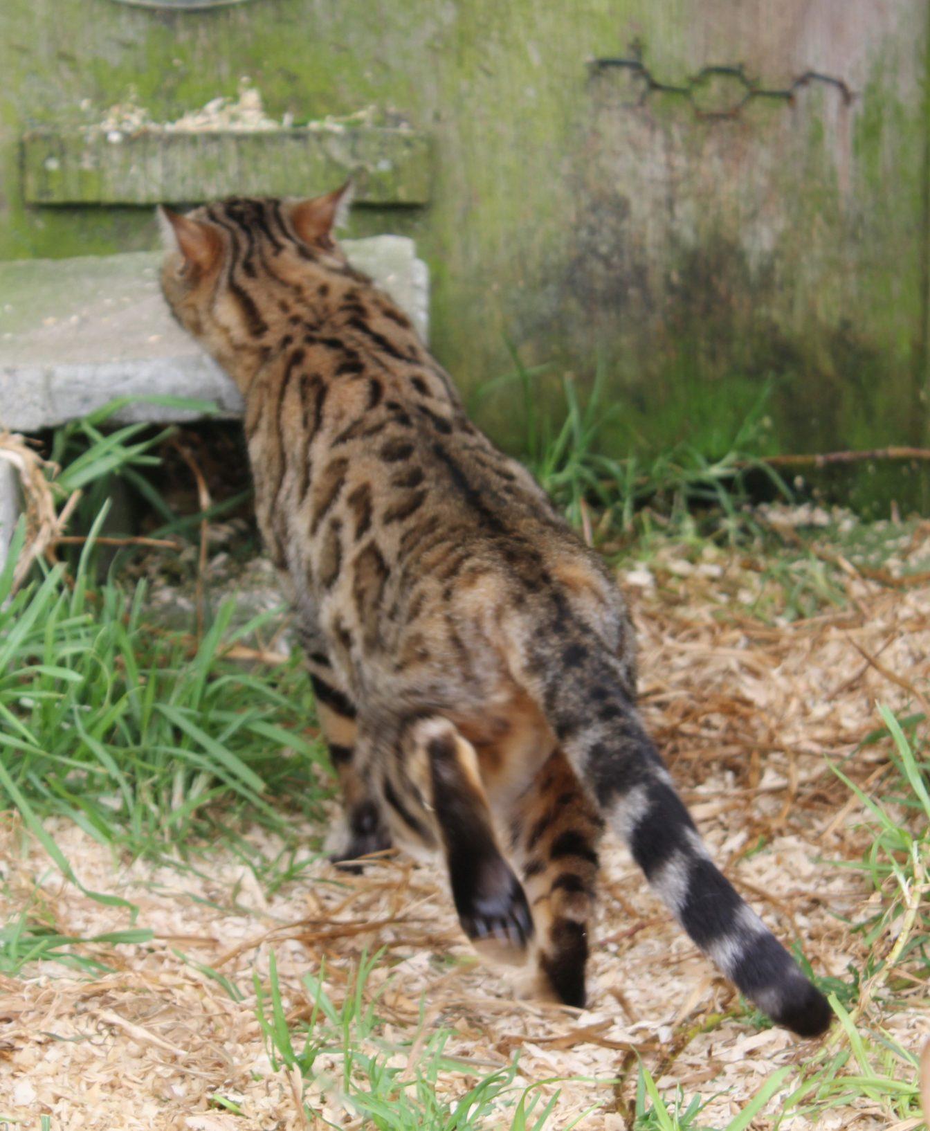 Photo 3 of J'Doir the Female Bengal cat.