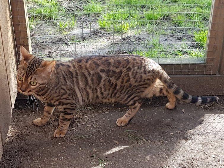 Photo 1 of Kiki the Female Bengal cat.