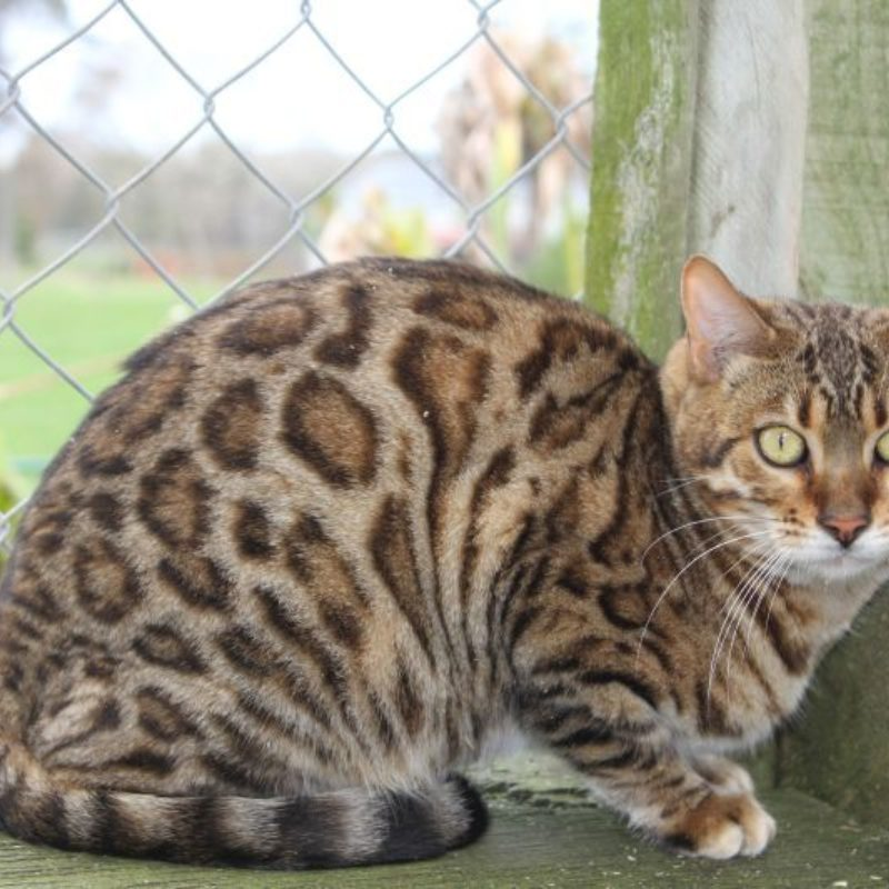 Photo 3 of Lilly the female Bengal cat.
