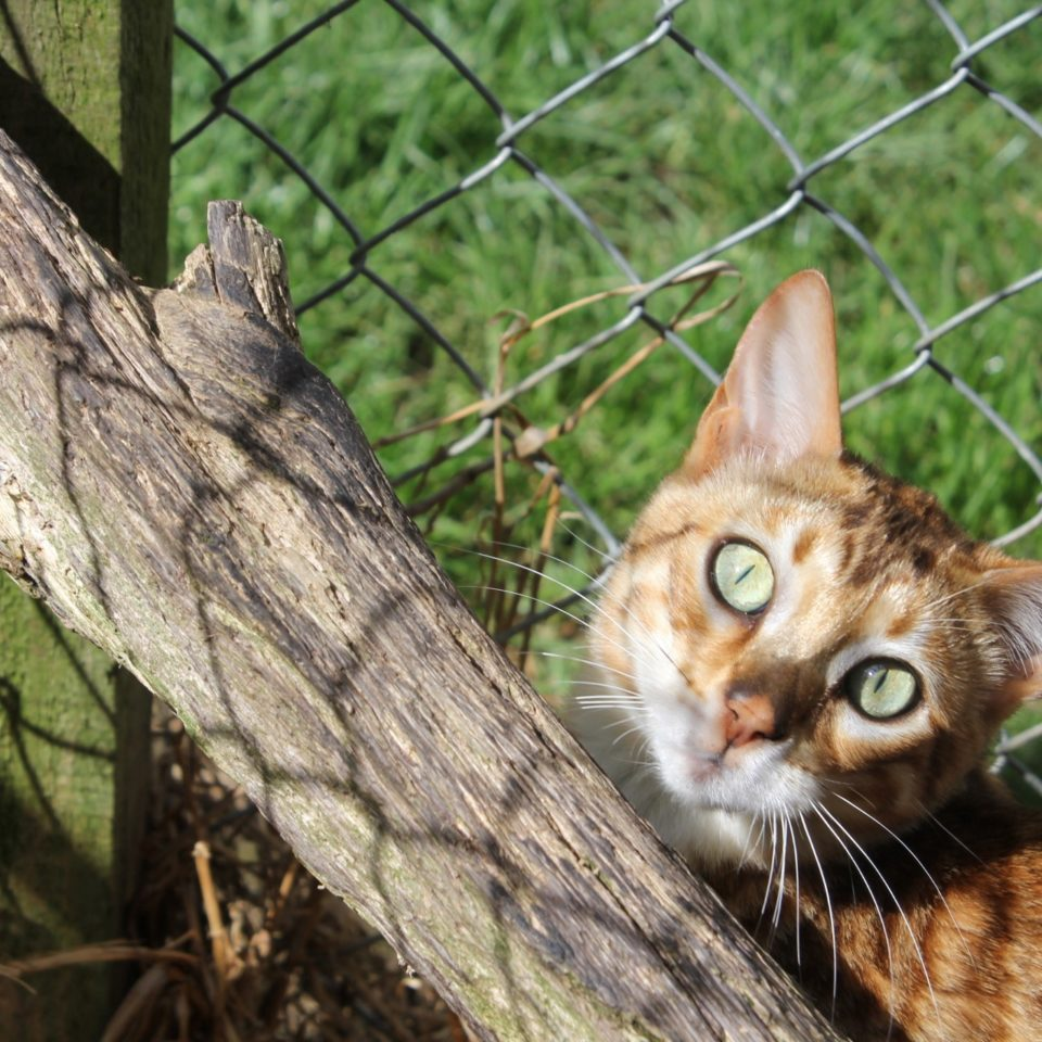 Photo 2 of Maeve the female Bengal cat.