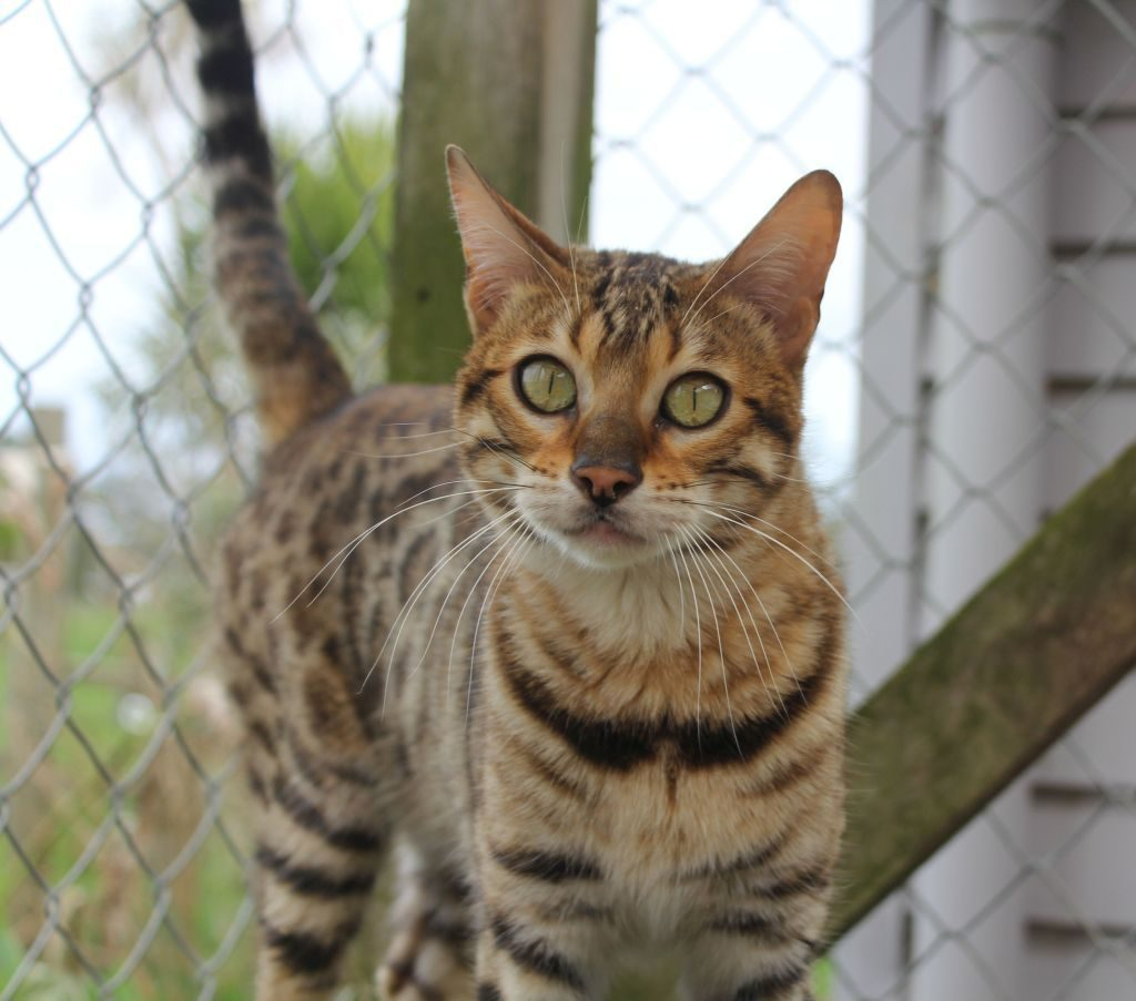Photo 1 of Peggy the Female Bengal cat.