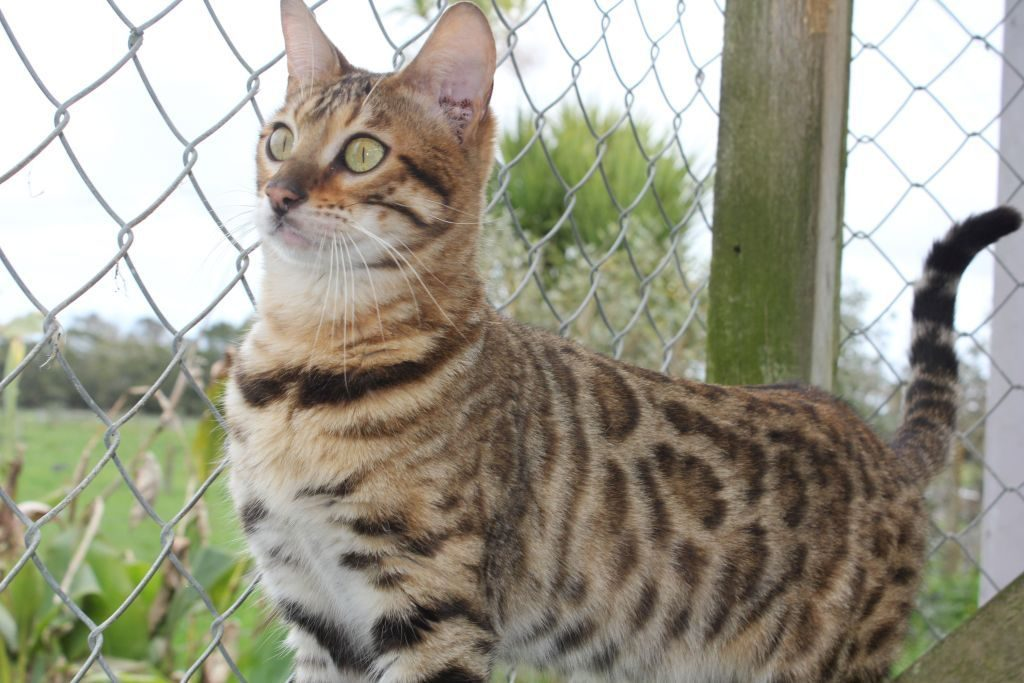 Photo 2 of Peggy the Female Bengal cat.