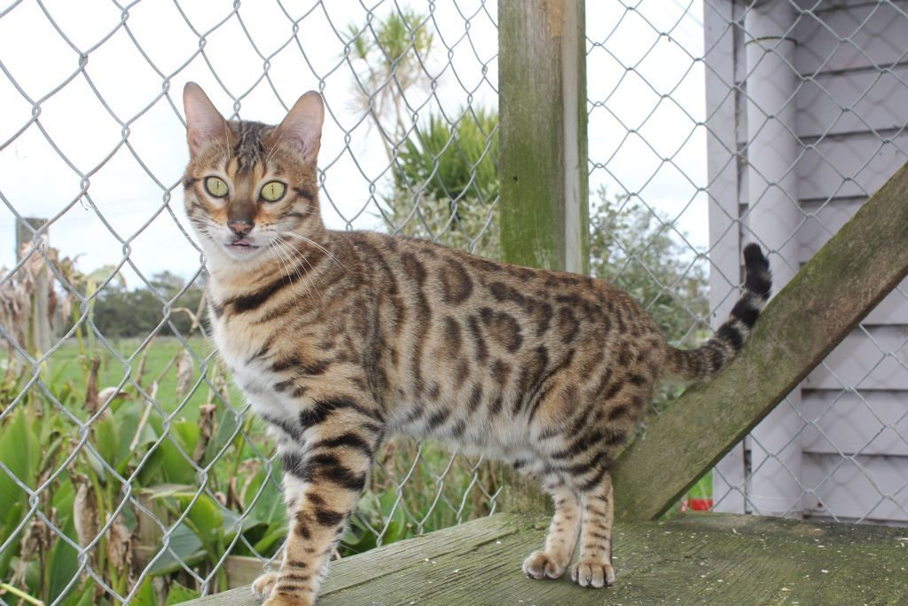 Photo 3 of Peggy the Female Bengal cat.