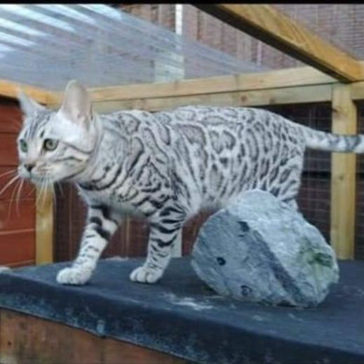 Photo 1 of Storm the female Bengal cat.