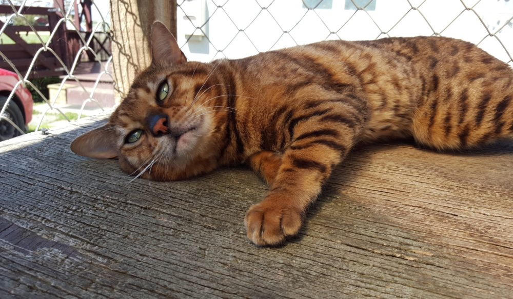 Photo 3 of Murphy the male Bengal cat.