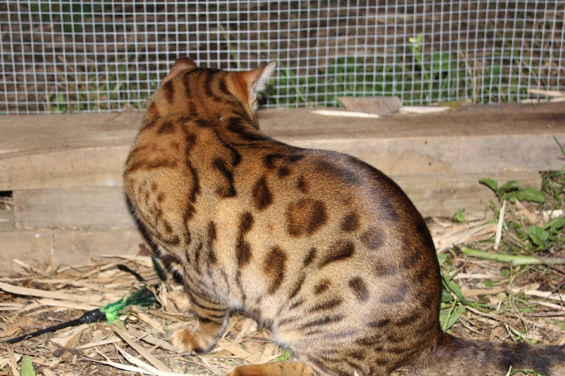 Photo 4 of Murphy the Male Bengal cat.