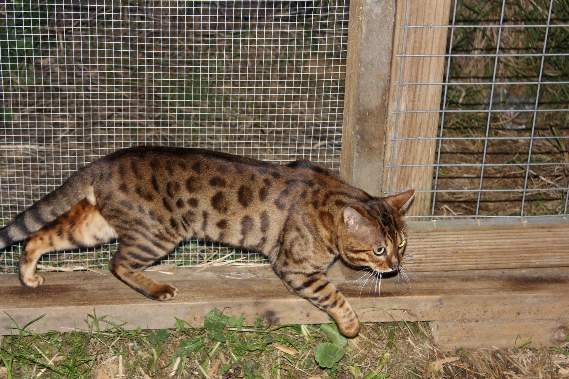Photo 1 of Murphy the Male Bengal cat.