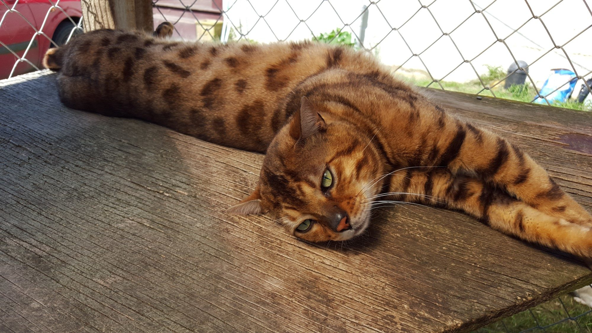 Photo 5 of Murphy the Male Bengal cat.