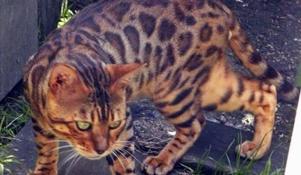 Photo 1 of Micky the male Bengal cat.