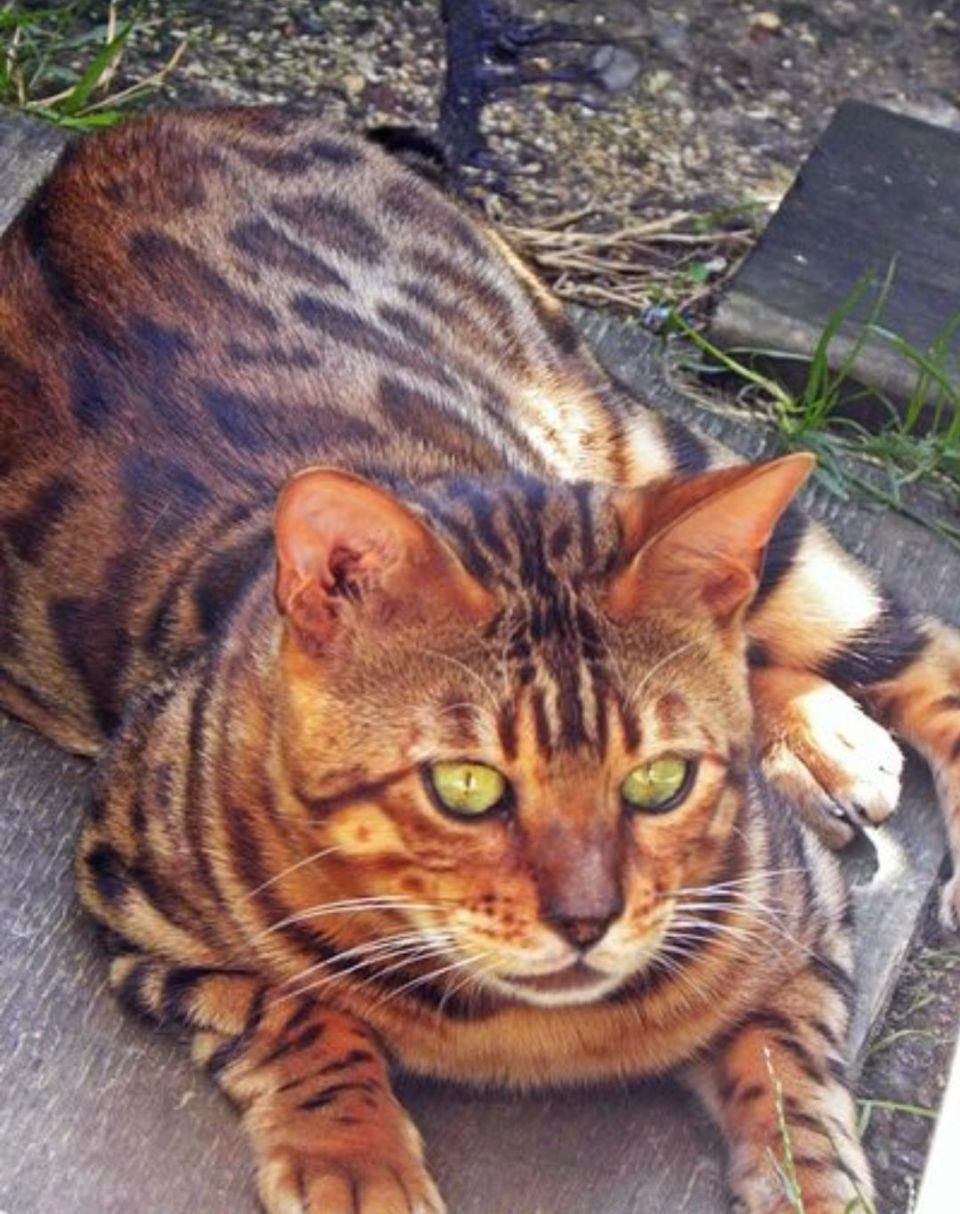 Photo 2 of Micky the Male Bengal cat.