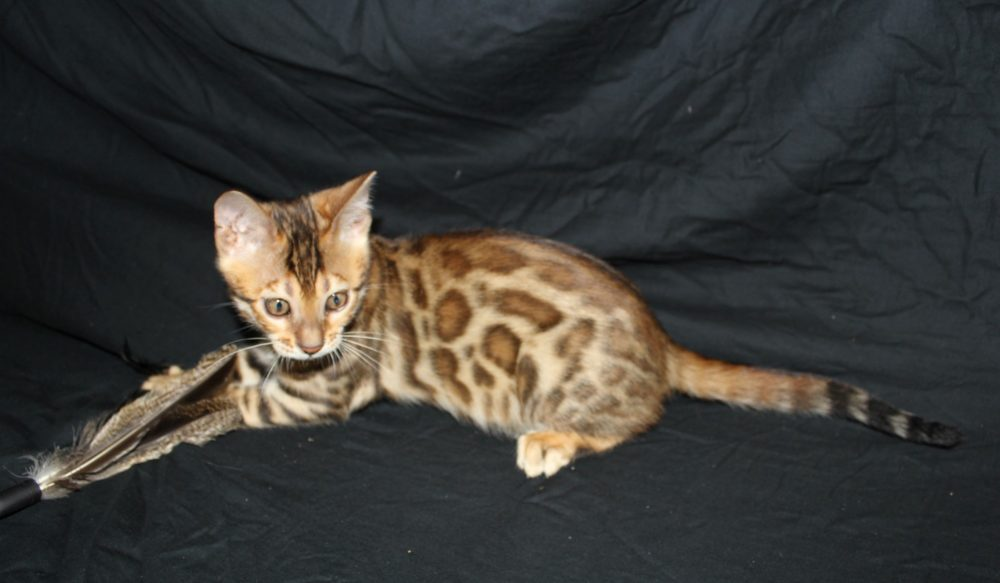 Photo 8 of Paddy the male Bengal cat.