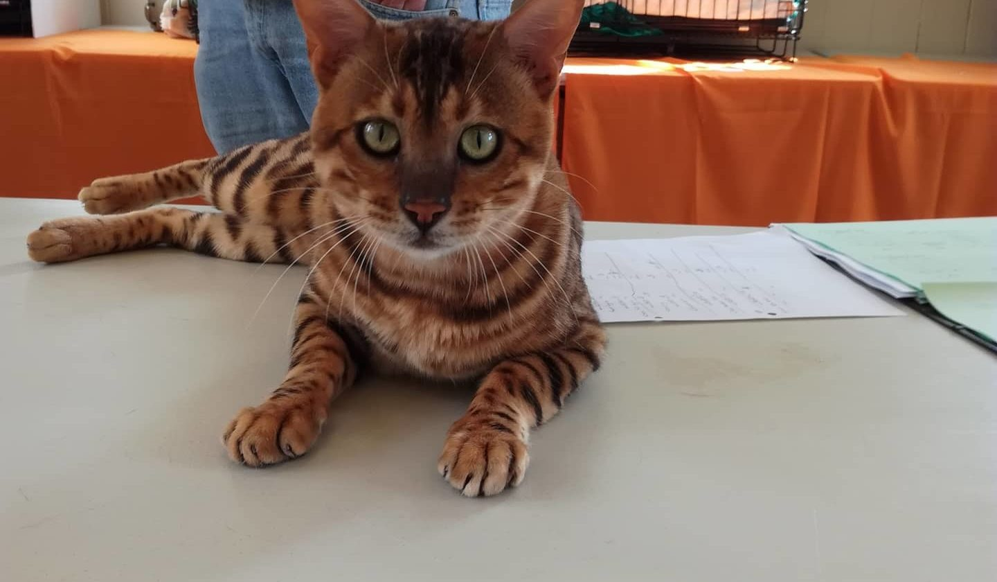 Photo 2 of Paddy the male Bengal cat.