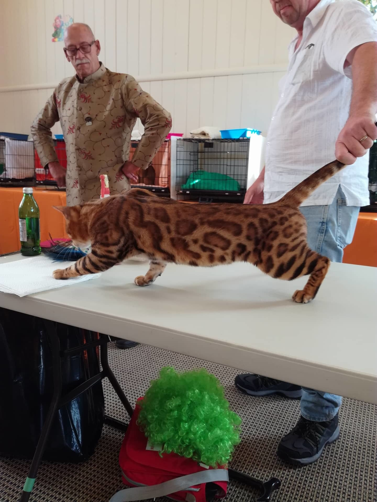 Photo 3 of Paddy the Male Bengal cat.