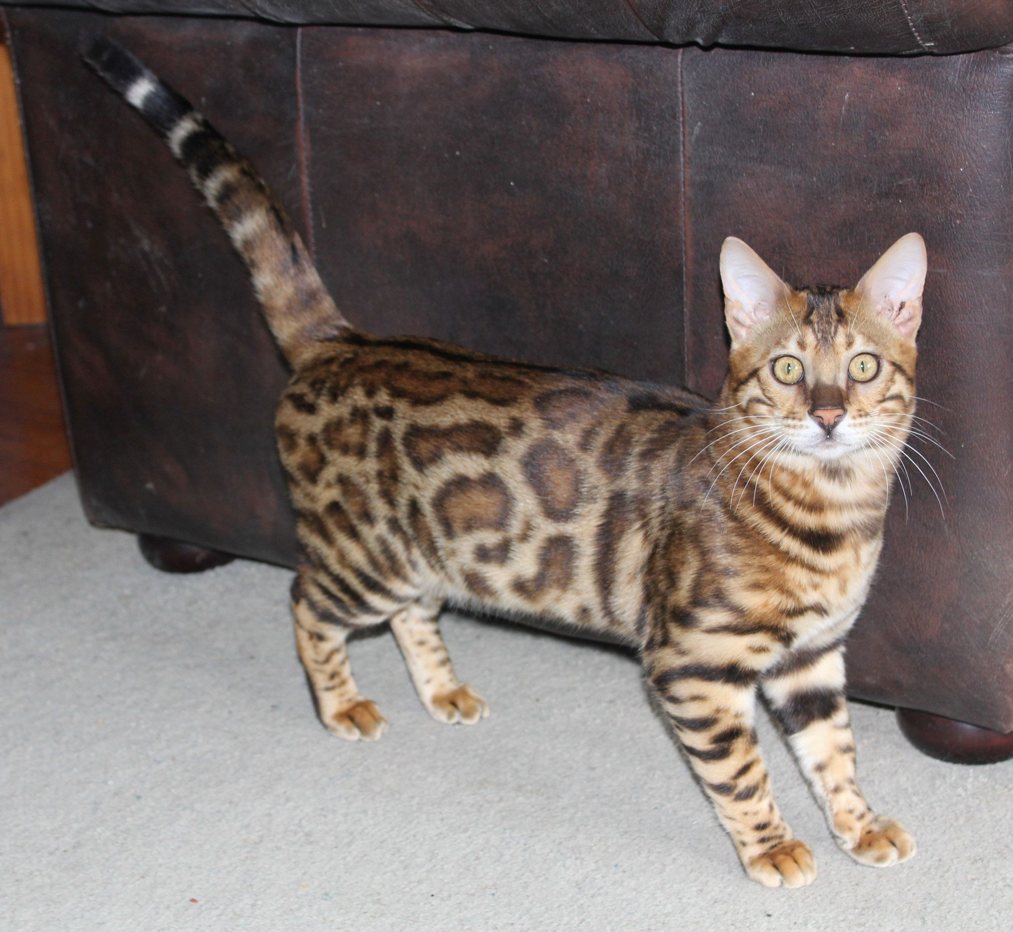 Photo 6 of Paddy the Male Bengal cat.