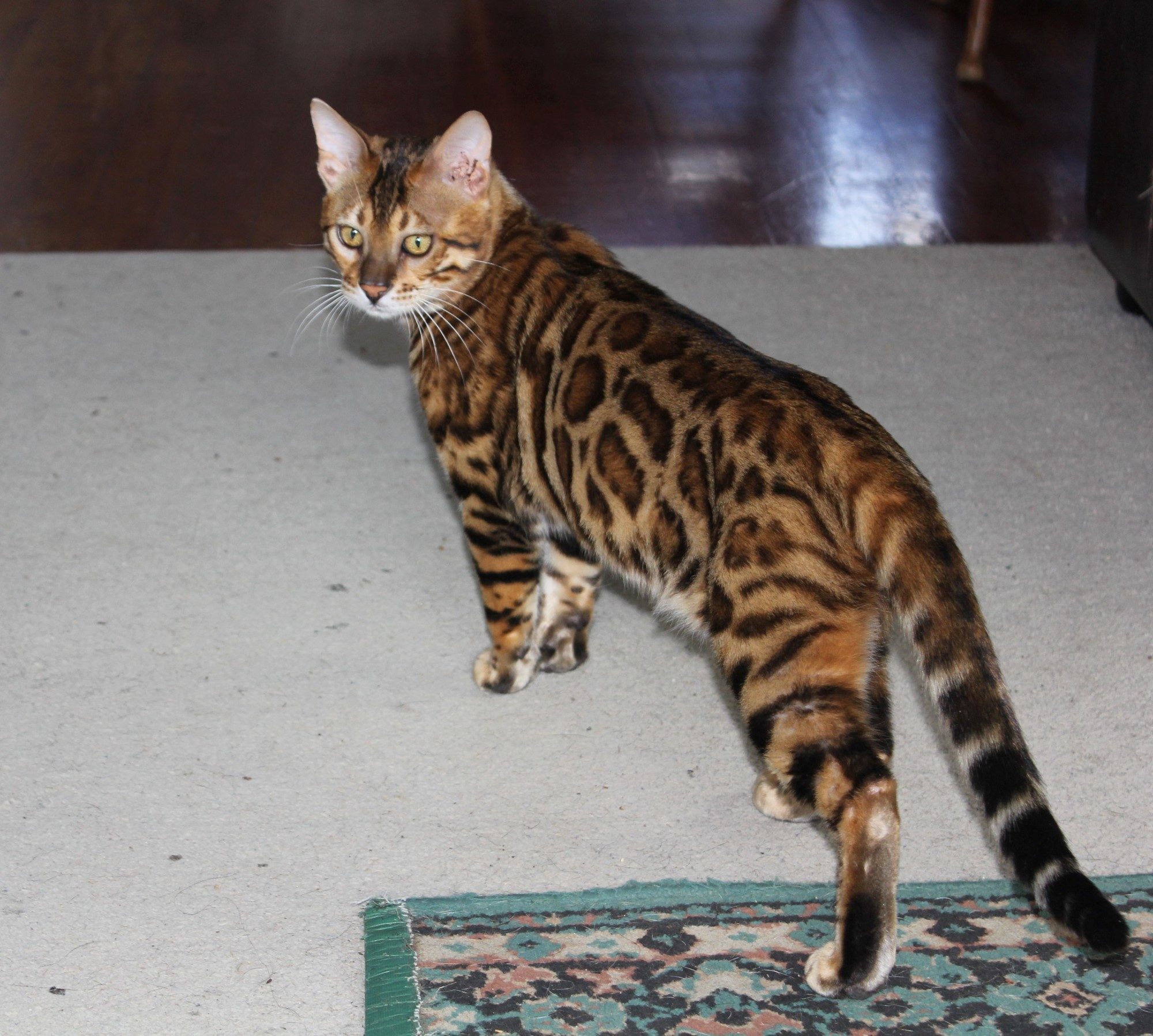 Photo 5 of Paddy the Male Bengal cat.