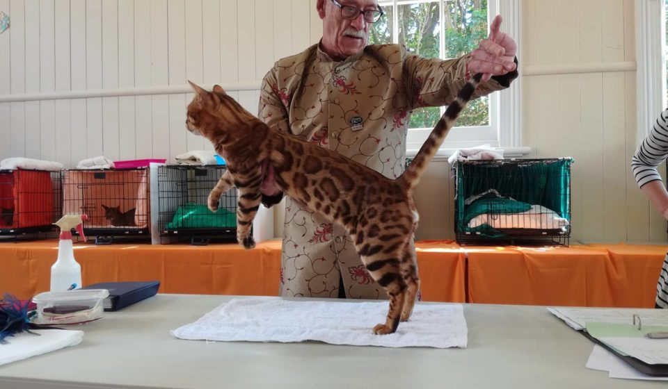 Photo 1 of Paddy the male Bengal cat.