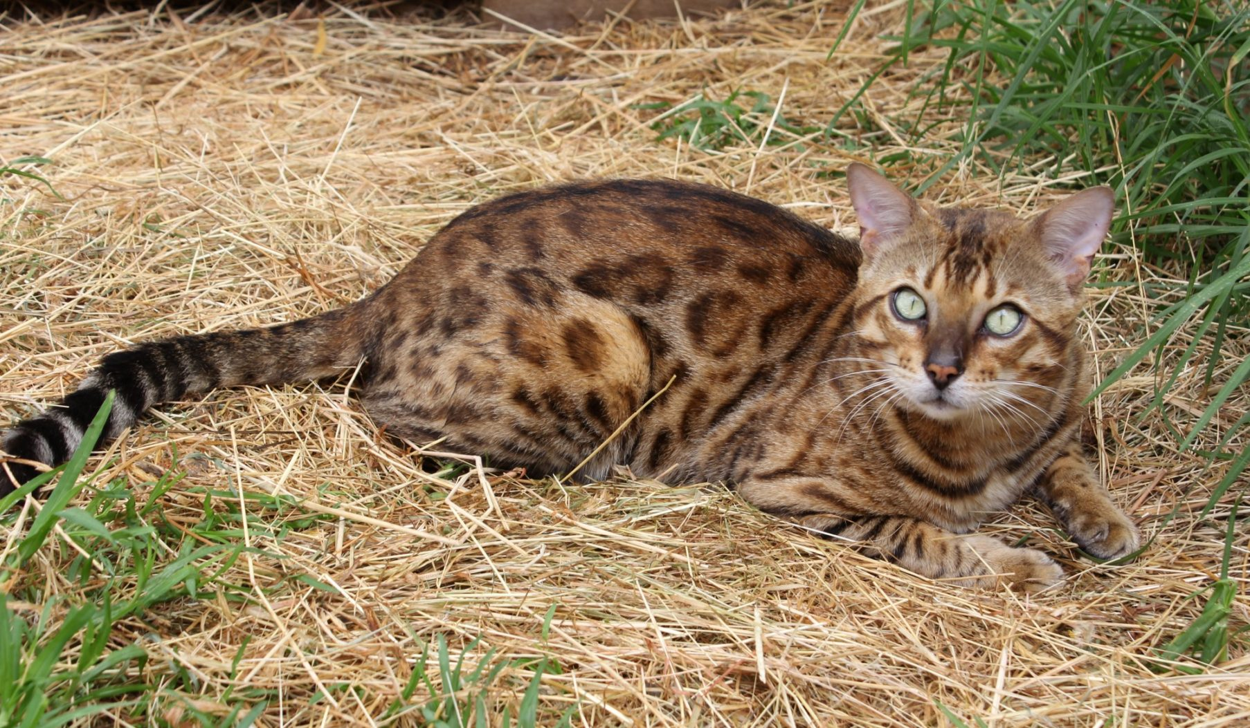 Photo 7 of Riley the male Bengal cat.