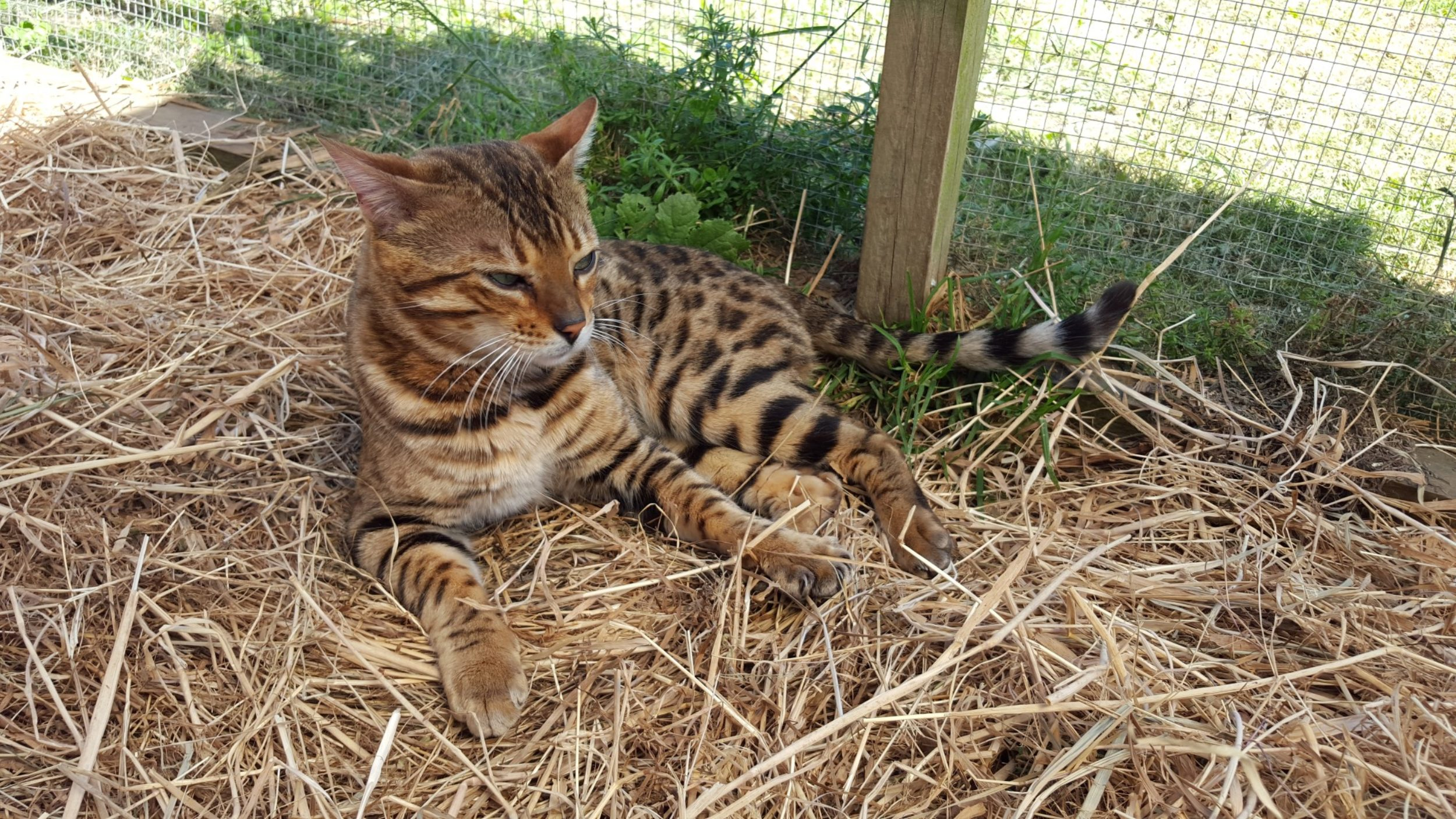 Photo 2 of Riley the Male Bengal cat.