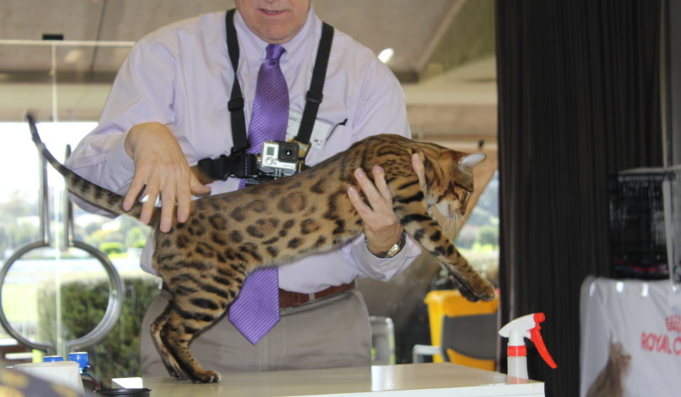 Photo 5 of Riley the male Bengal cat.