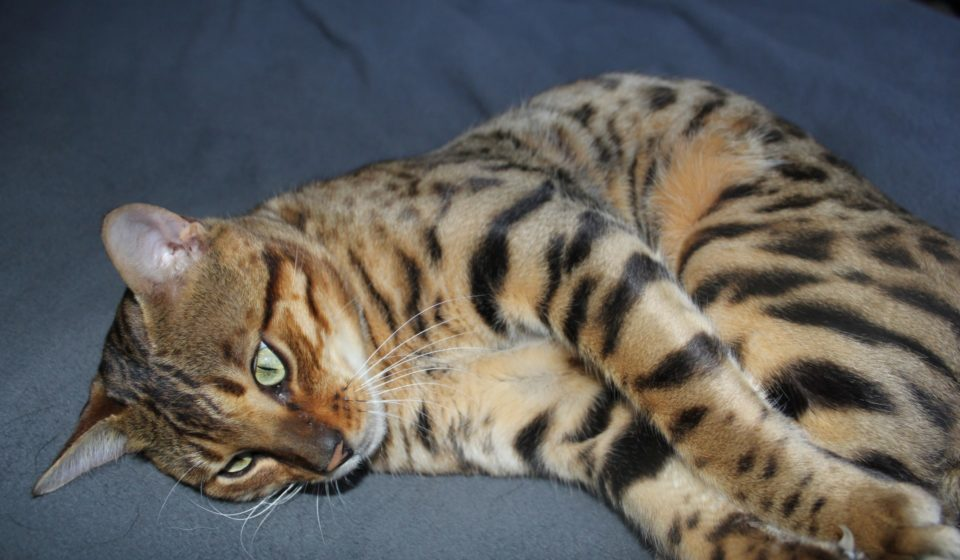 Photo 6 of Riley the male Bengal cat.