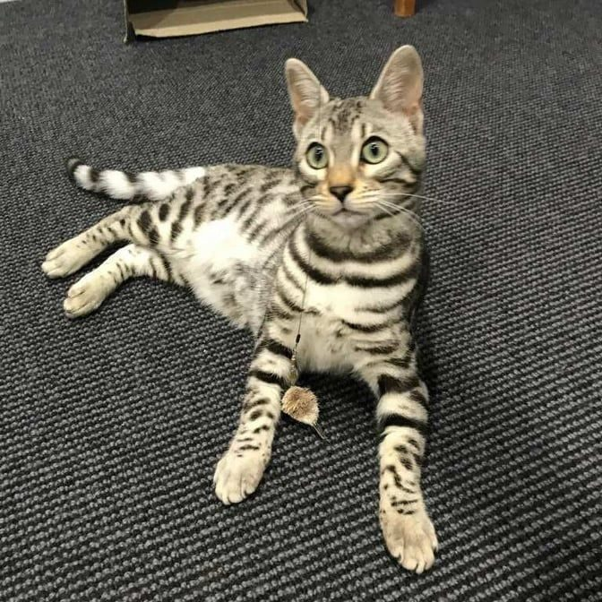 Photo 1 of Mable the female Bengal cat.
