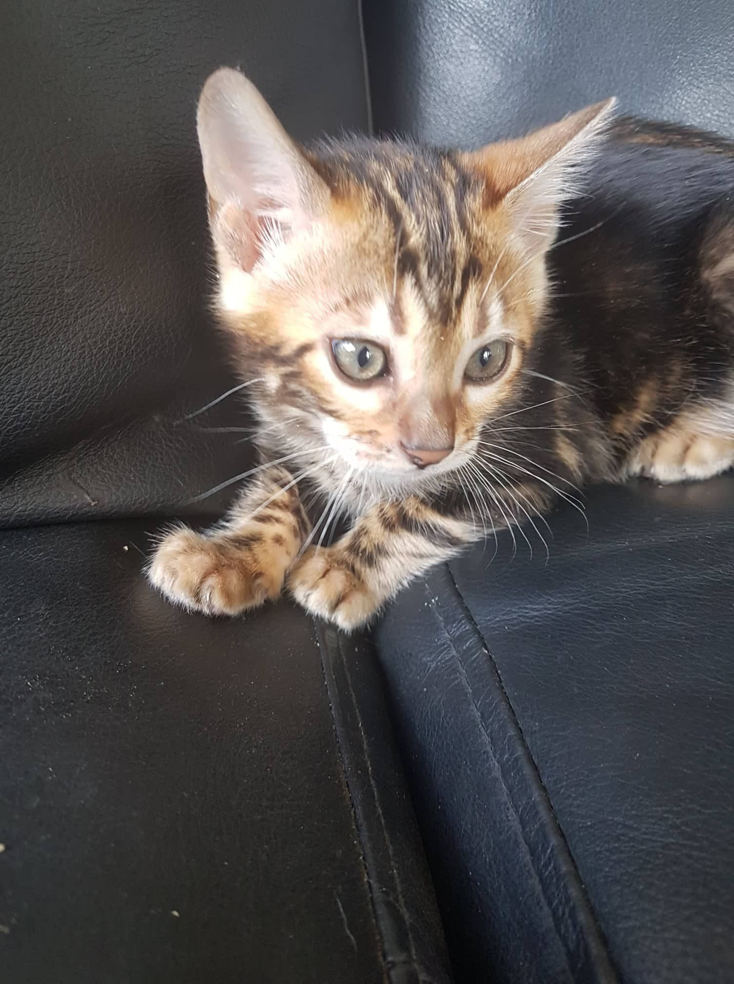 Photo 1 of Daisy-AVAILABLE NOW the Bengal kitten.