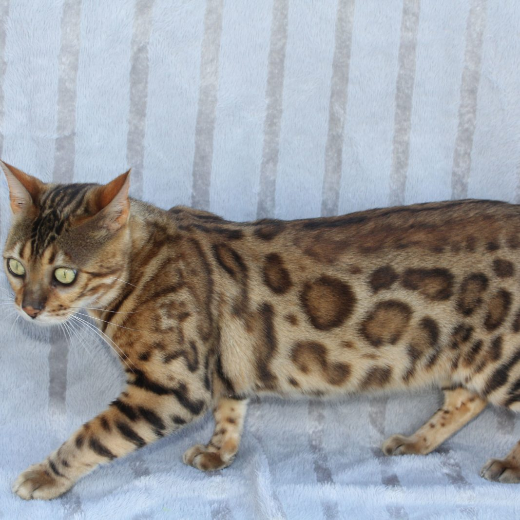 Photo 1 of Peggys Pride the male Bengal cat.