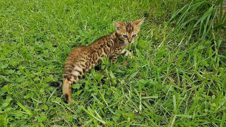 Photo 1 of Rocky the Bengal kitten.