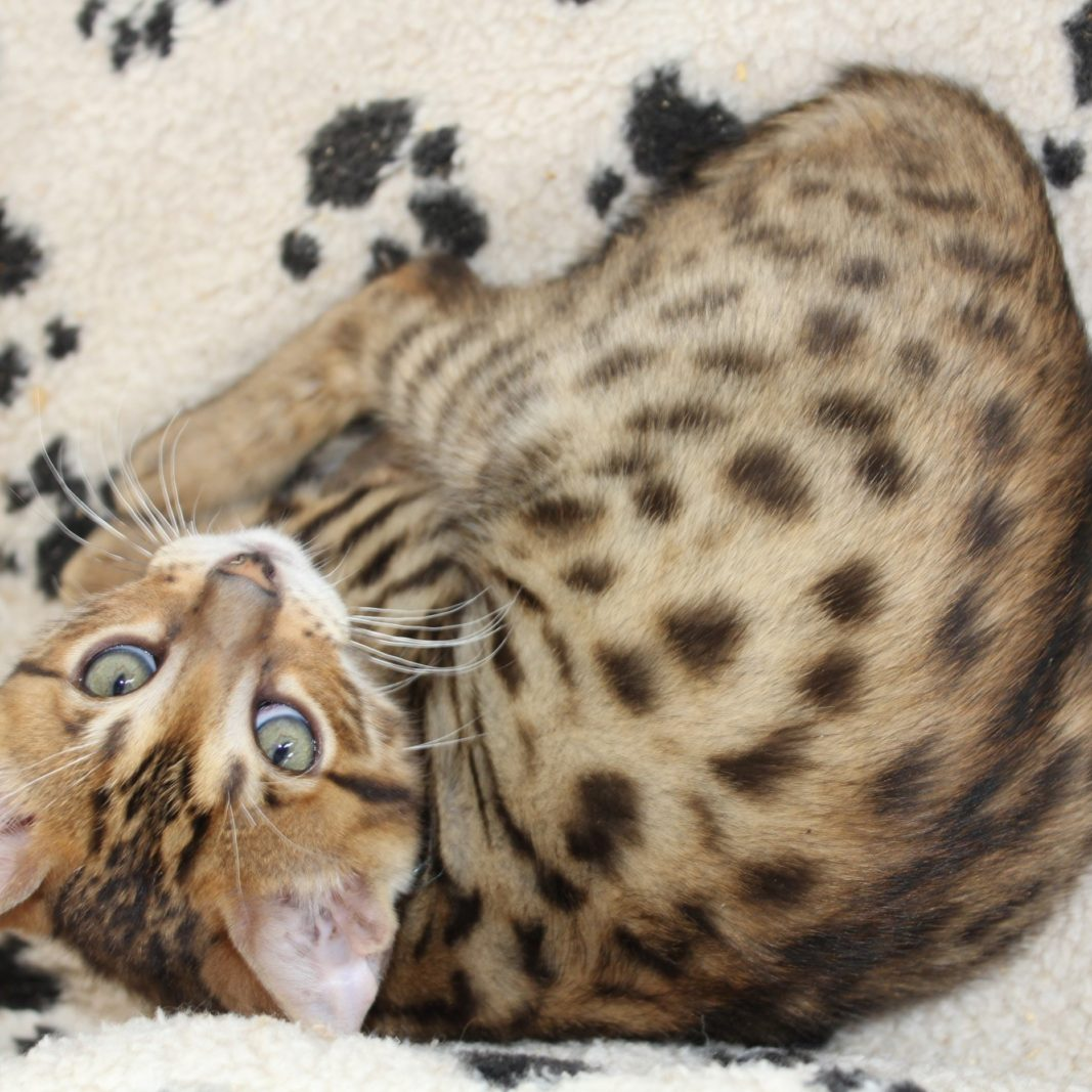 Photo 5 of Sylvester the male Bengal cat.