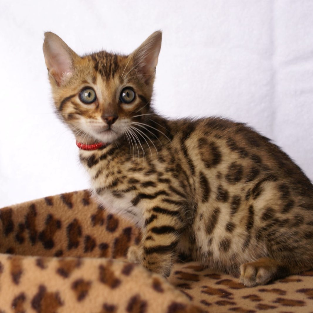 Photo 15 of Aru the male Bengal cat.