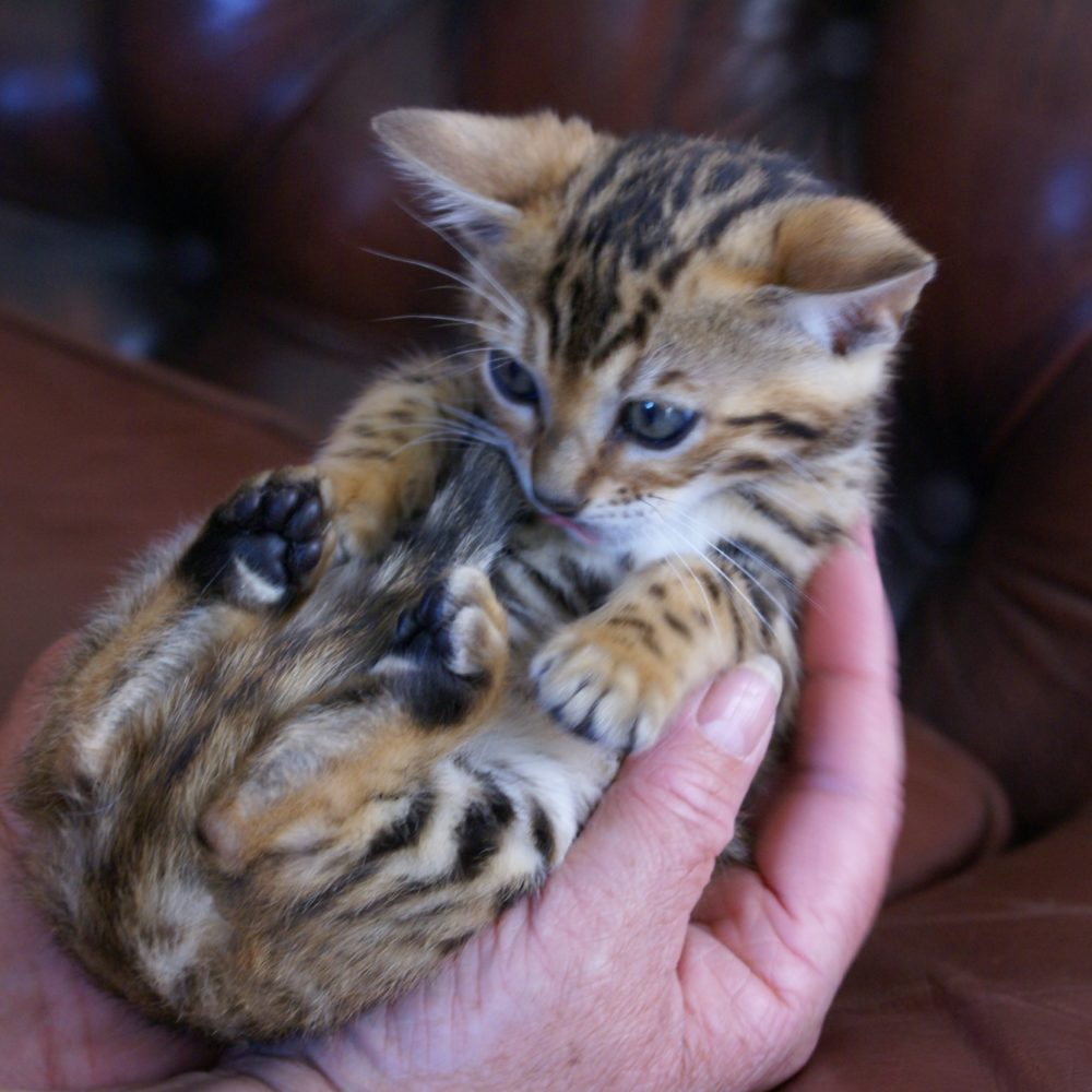 Photo 15 of Glow the female Bengal cat.