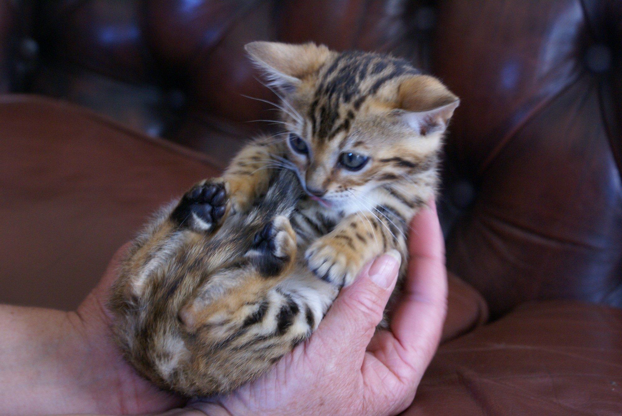 Photo 1 of Glow the Bengal kitten.