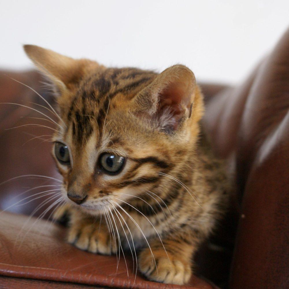 Photo 13 of Kovu the male Bengal cat.