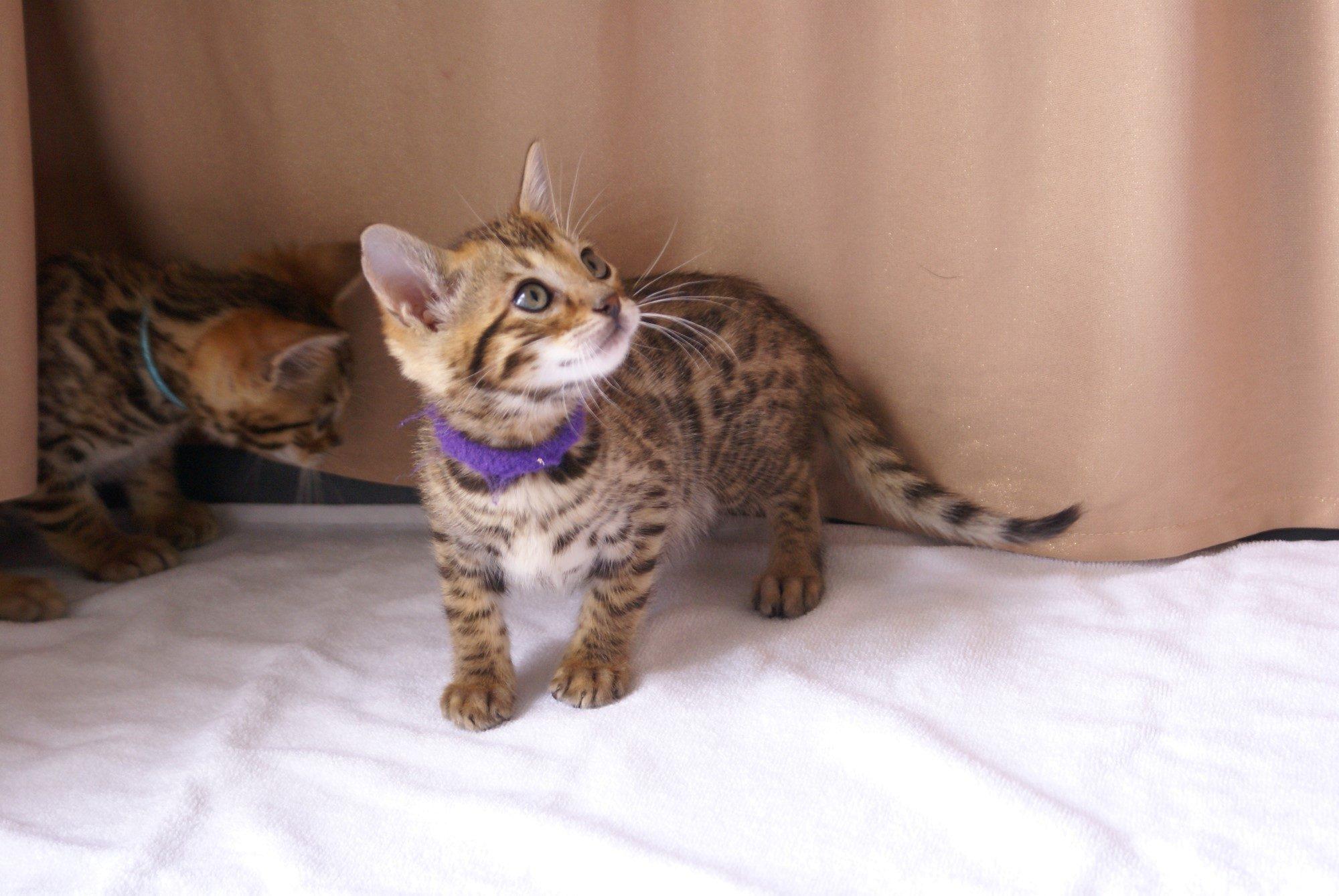 Photo 2 of Kovu the Bengal kitten.