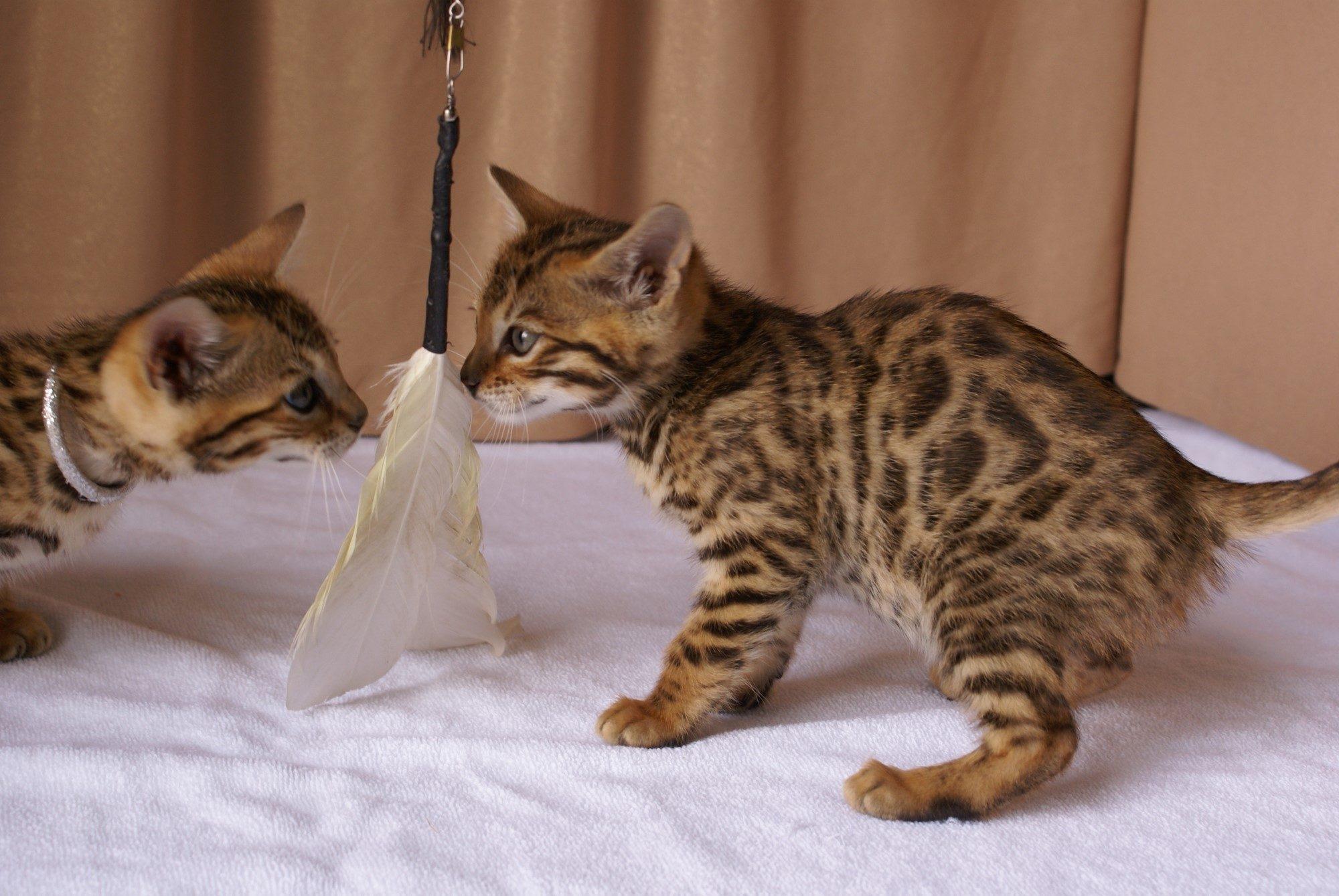 Photo 3 of Kovu the Bengal kitten.
