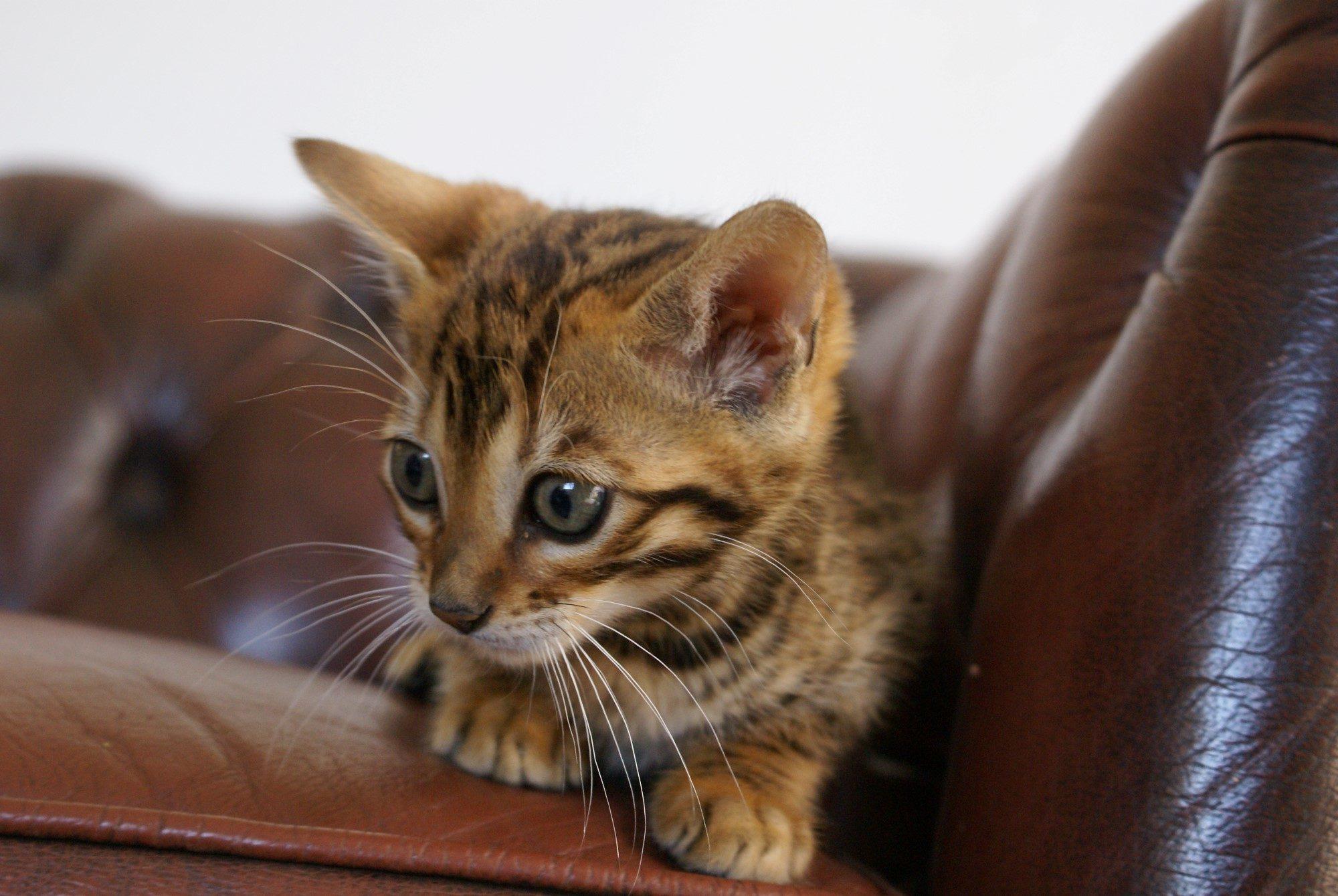 Photo 1 of Kovu the Bengal kitten.