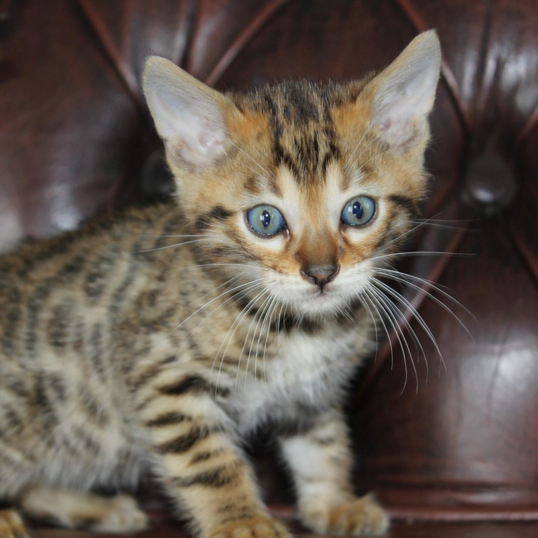 Photo 11 of Rockefeller the male Bengal cat.