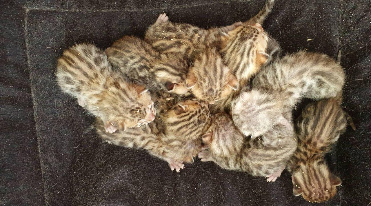 Photo 2 of Lizzys litter the Bengal kitten.