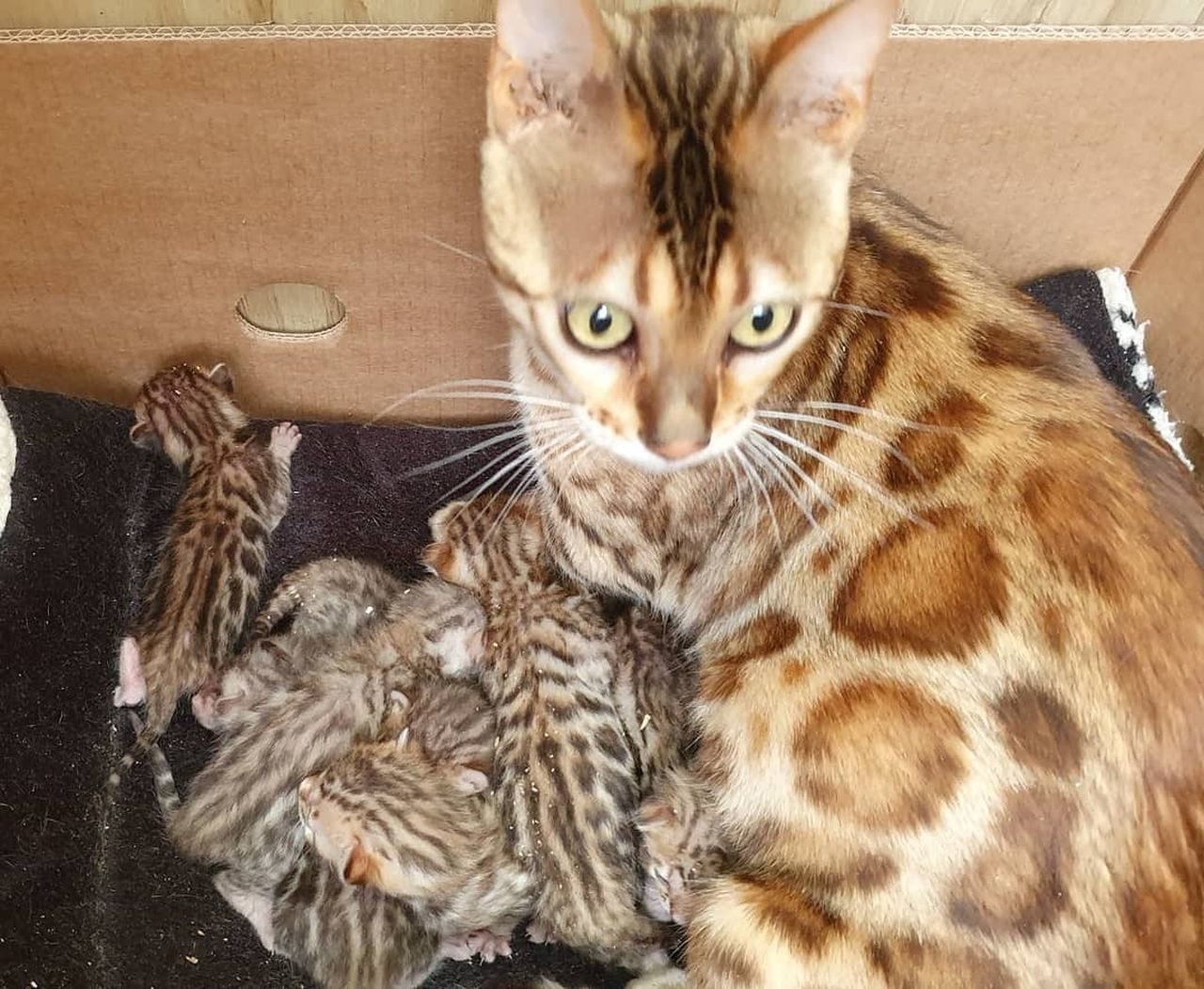 Photo 1 of Lizzys litter the Bengal kitten.