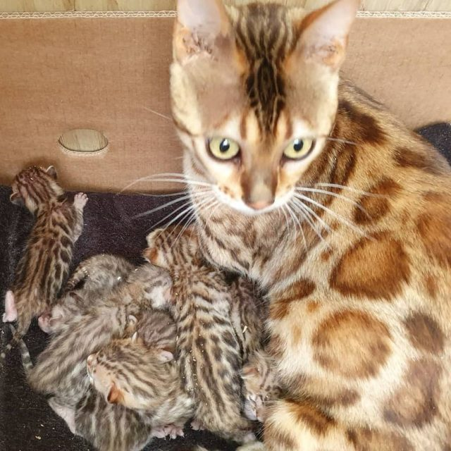 Photo 3 of Lizzys litter the male Bengal cat.