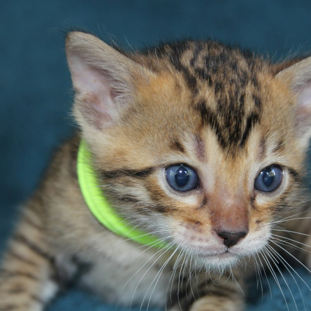 Photo 15 of Bailey the female Bengal cat.